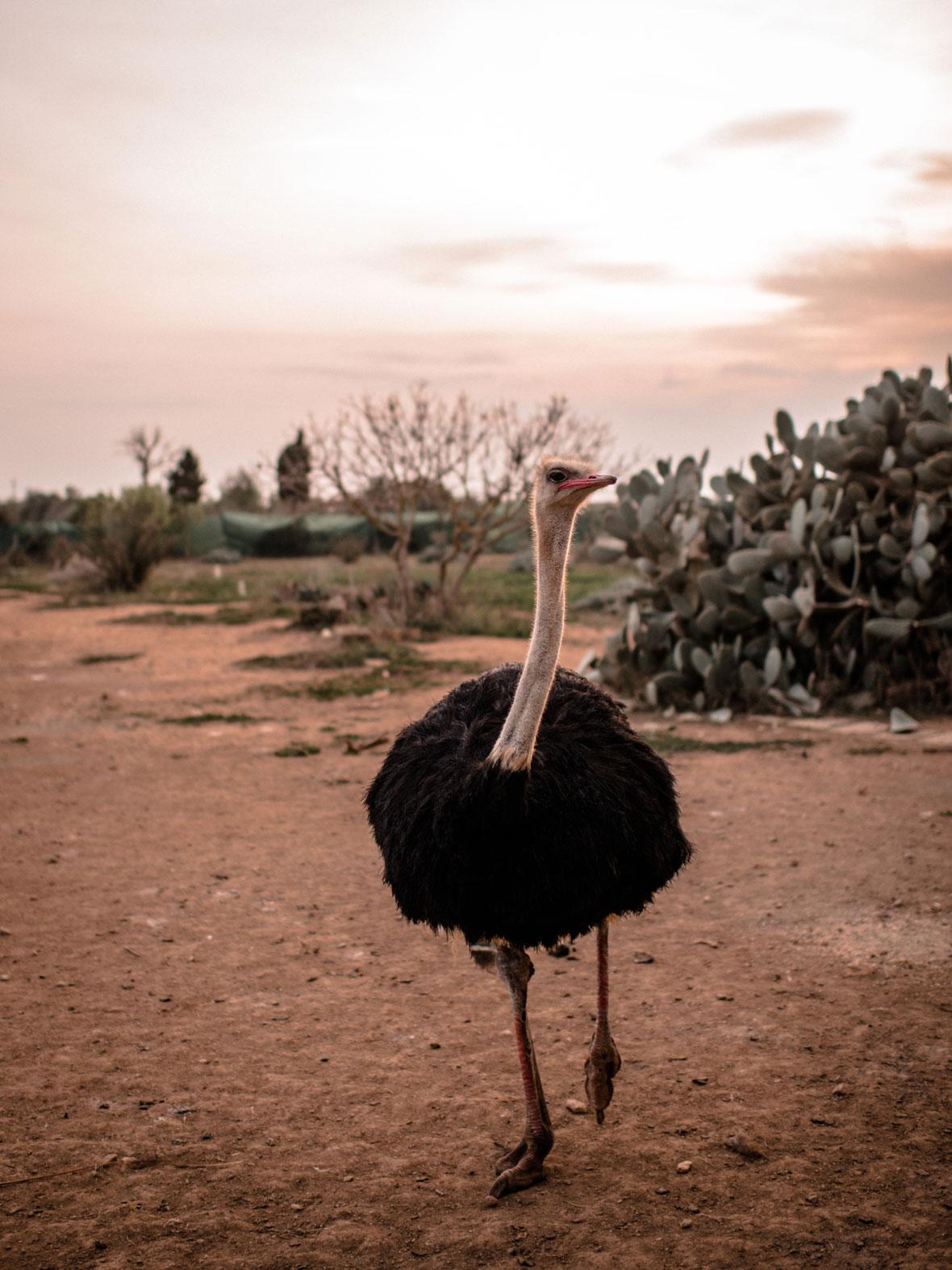ostrich, estruç, mallorca, activitats, holidays, weekend