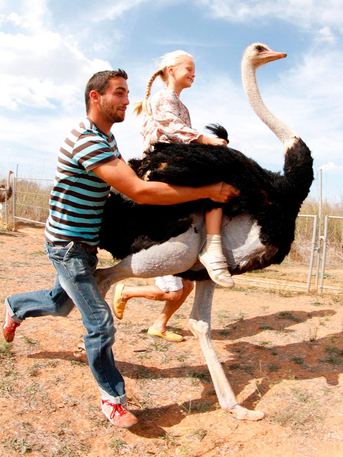 ride, ostrich, muntar, estruç